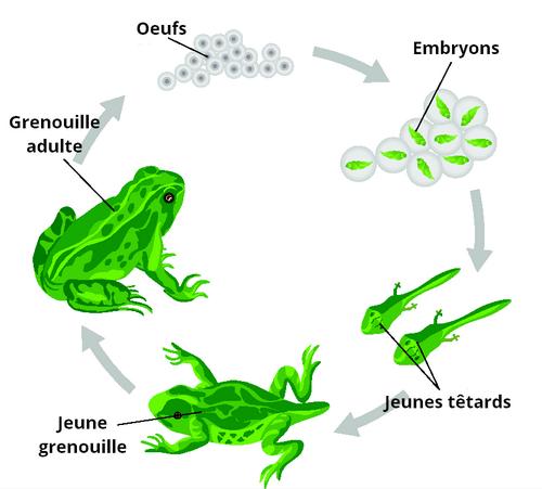 cyce-du-tetard-a-la-grenouille