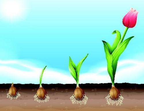 printemps-bulbe-tulipes