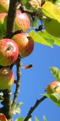 cueiellette-pommes
